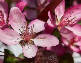 Pommier à fleurs, pommier d'ornement : plantation, taille, entretien