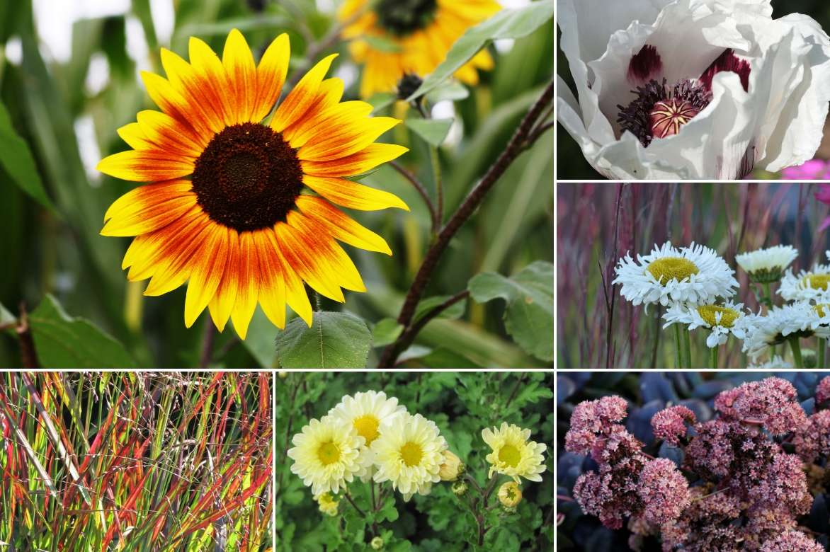 Quand Faut Il Semer Les Tournesols tournesol : semis, plantation, entretien - promesse de fleurs