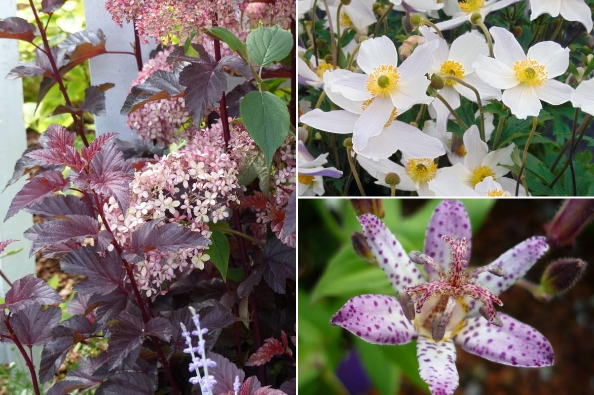 Tricyrtis, Lys crapaud : planter, cultiver, entretenir %%sep ...