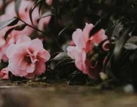 Camélia en pot : choisir, planter et cultiver
