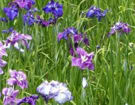 Iris du Japon : cultiver et entretenir