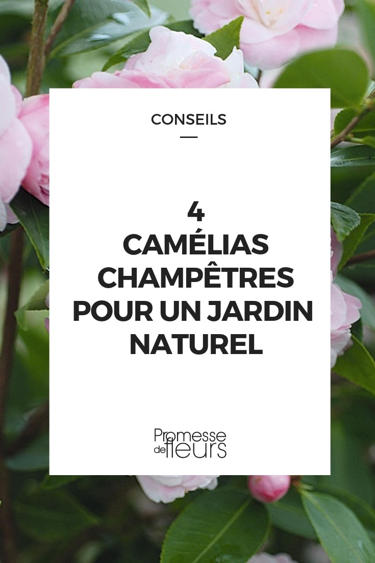 camellia champetres