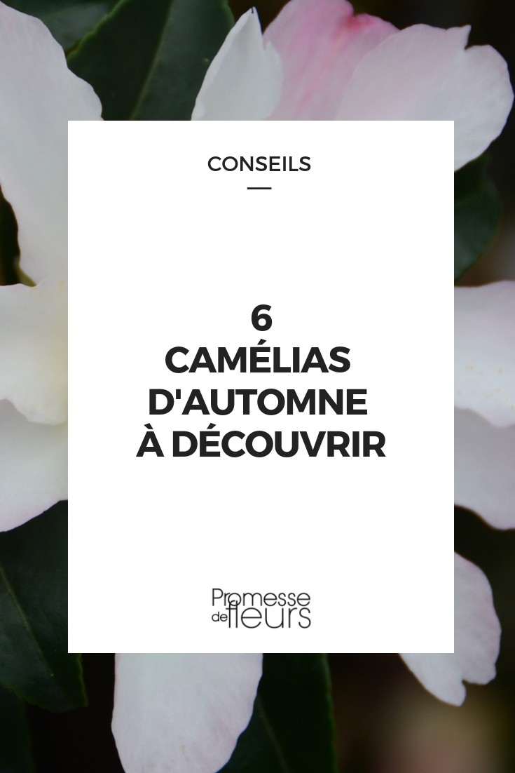 camellia d'automne