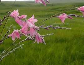 Dierama, Canne à pêche des anges : plantation, culture et entretien