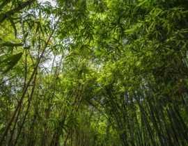 Mes bambous ne poussent pas, pourquoi ?