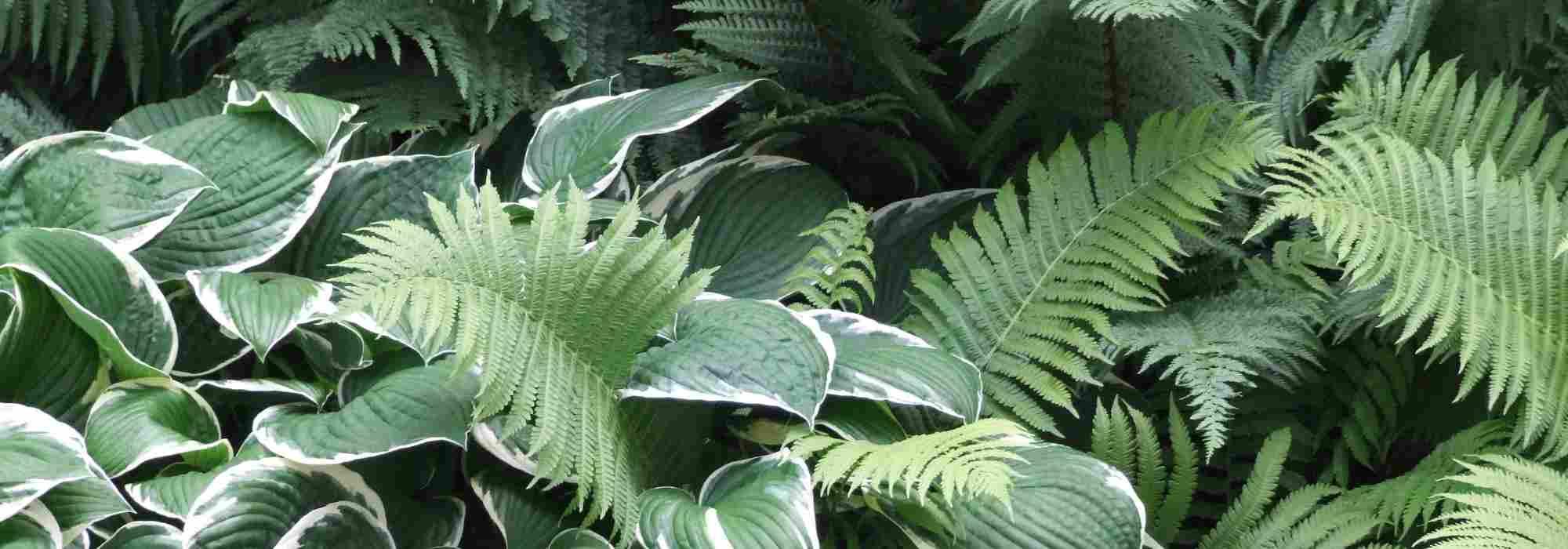 Plante Exterieur Qui Aime L Eau 10 plantes vivaces d'ombre pour composer un massif