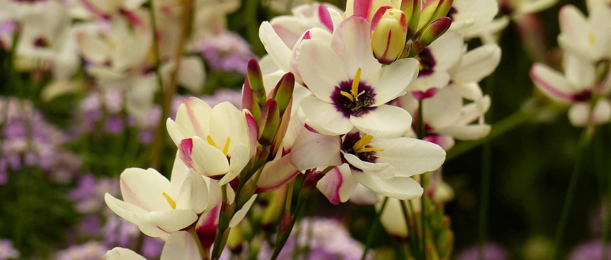 Black lily Bulbes vivace Bonsai SUPERBE FLEURS désherbage cadeaux parfumée Plant