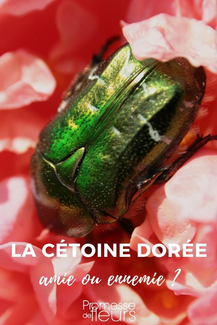Comment Detruire Efficacement Les Taupes cétoine dorée : tout savoir sur ce gros insecte du jardin