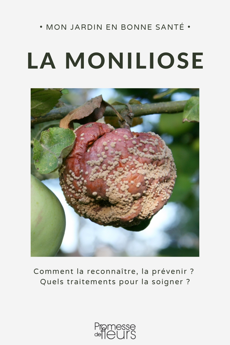 la moniliose ou pourriture des fruits