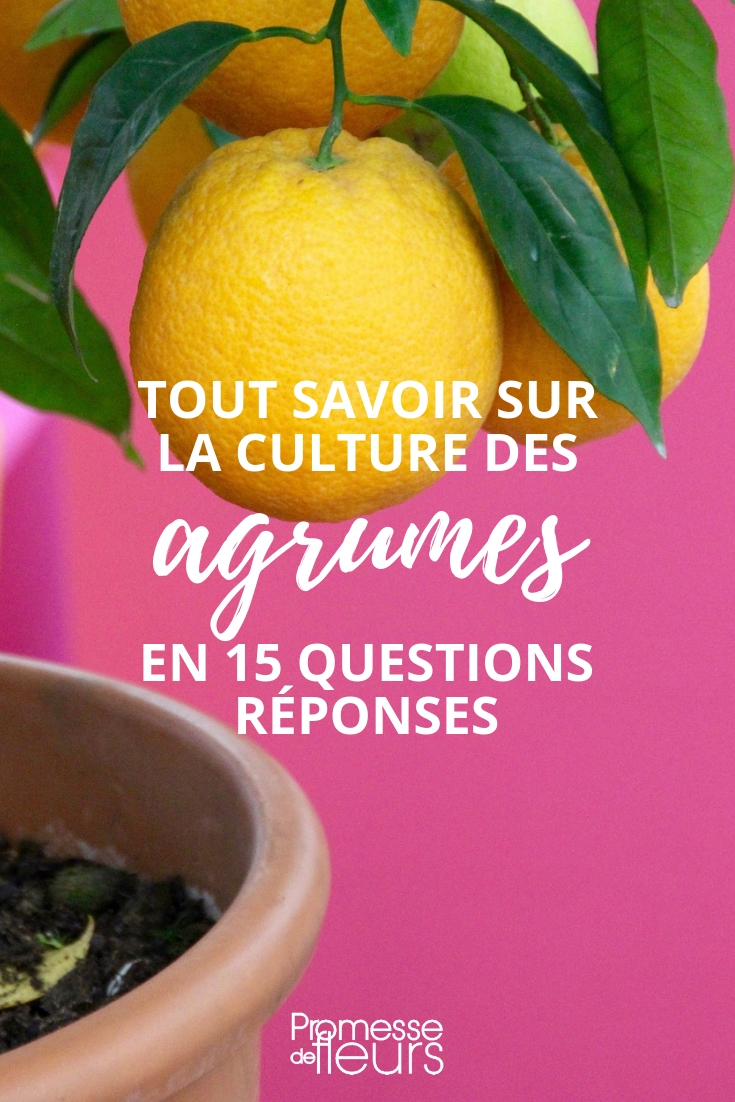 citronnier, oranger, agrumes - question réponse