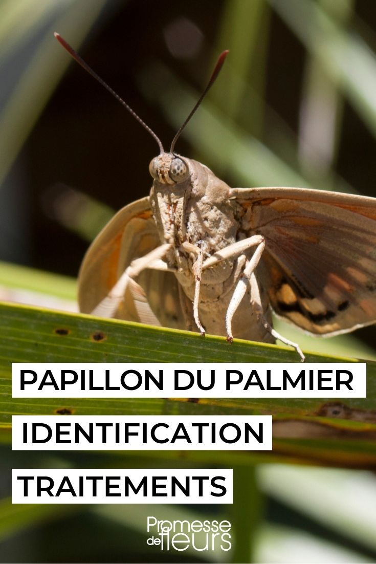 Paysandisia archon, bombyx du palmier