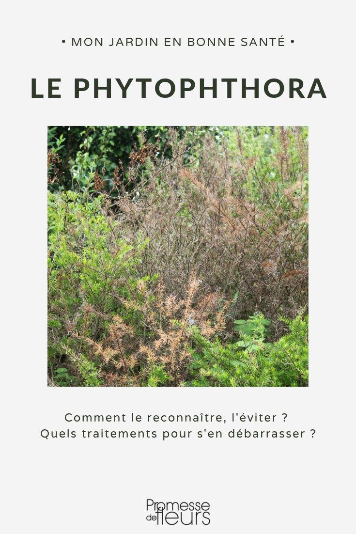 phytophtora maladie