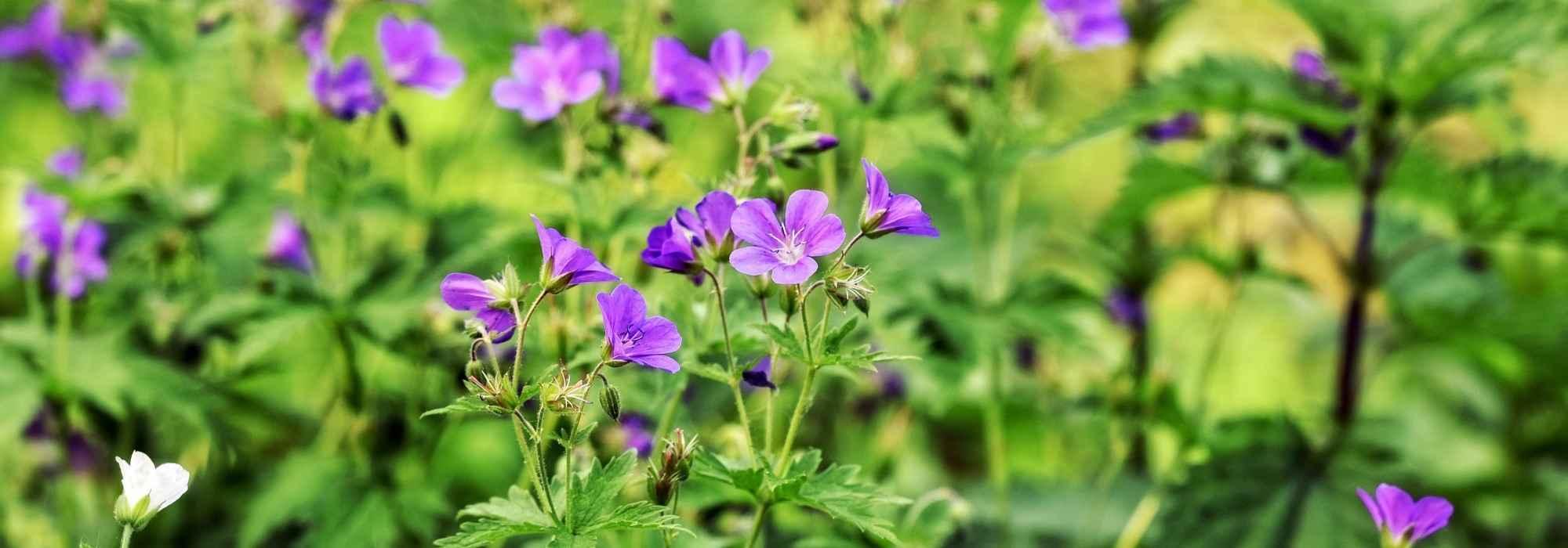Graines De Fleurs Qui Poussent Très Vite 10 plantes vivaces qui poussent vite pour un effet immédiat