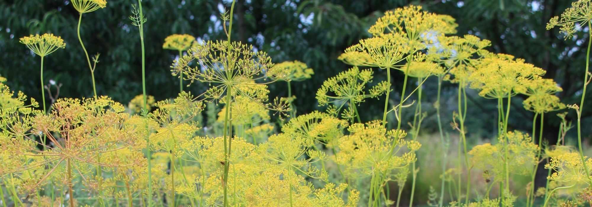 Graines d/'herbe-Aneth à feuilles de fougère 100 graines
