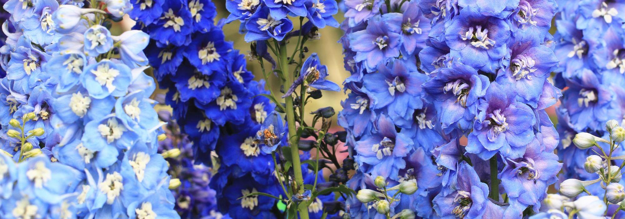 Fleur De Sous Bois Bleue fleurs bleues : 10 vivaces qu'il faut avoir dans son jardin