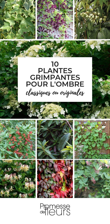 plantes grimpantes pour l'ombre