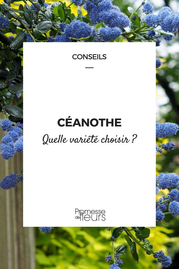 Céanothe : choisir la bonne variété