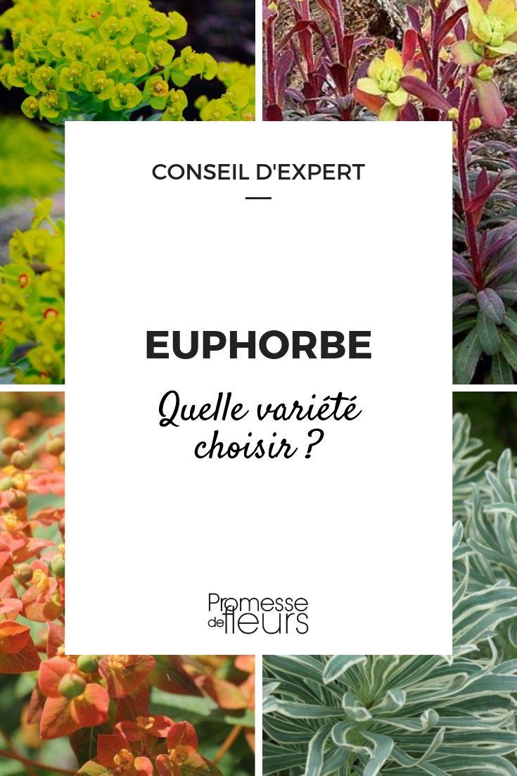 Euphorbe : guide pour choisir la bonne variété