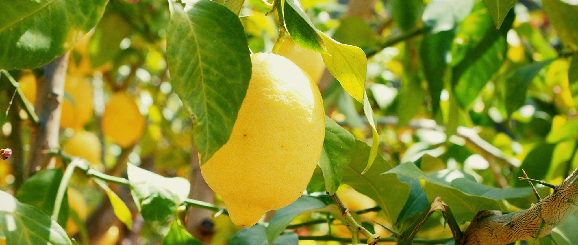 Comment Cultiver Un Citronnier En Pot citronnier en pot : tout ce qu'il faut savoir pour bien le