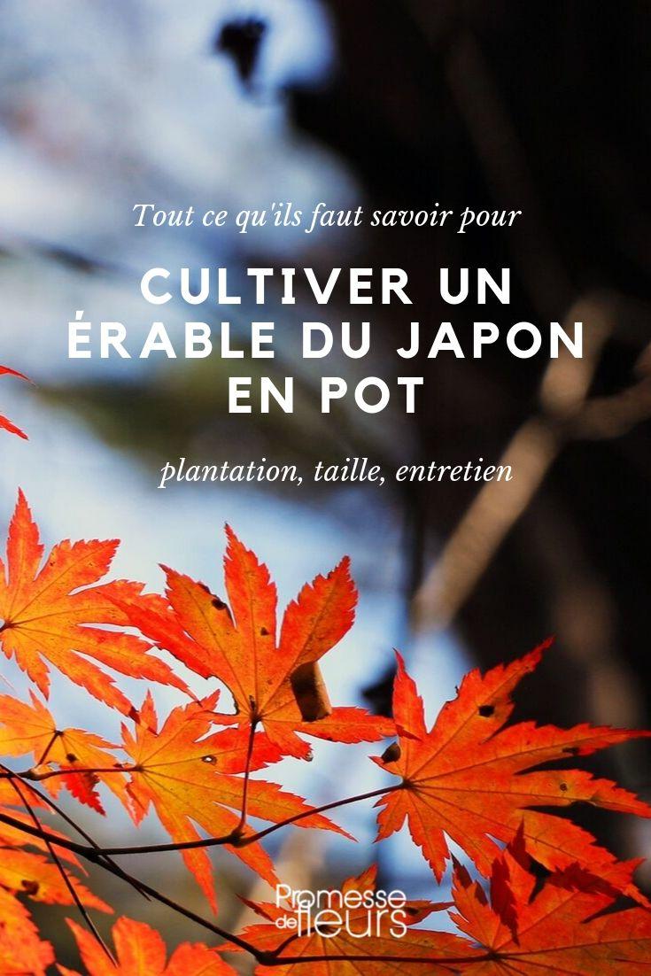 Érable du japon en pot - conseils de culture