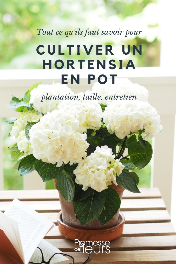 Hortensia en pot : plantation, culture