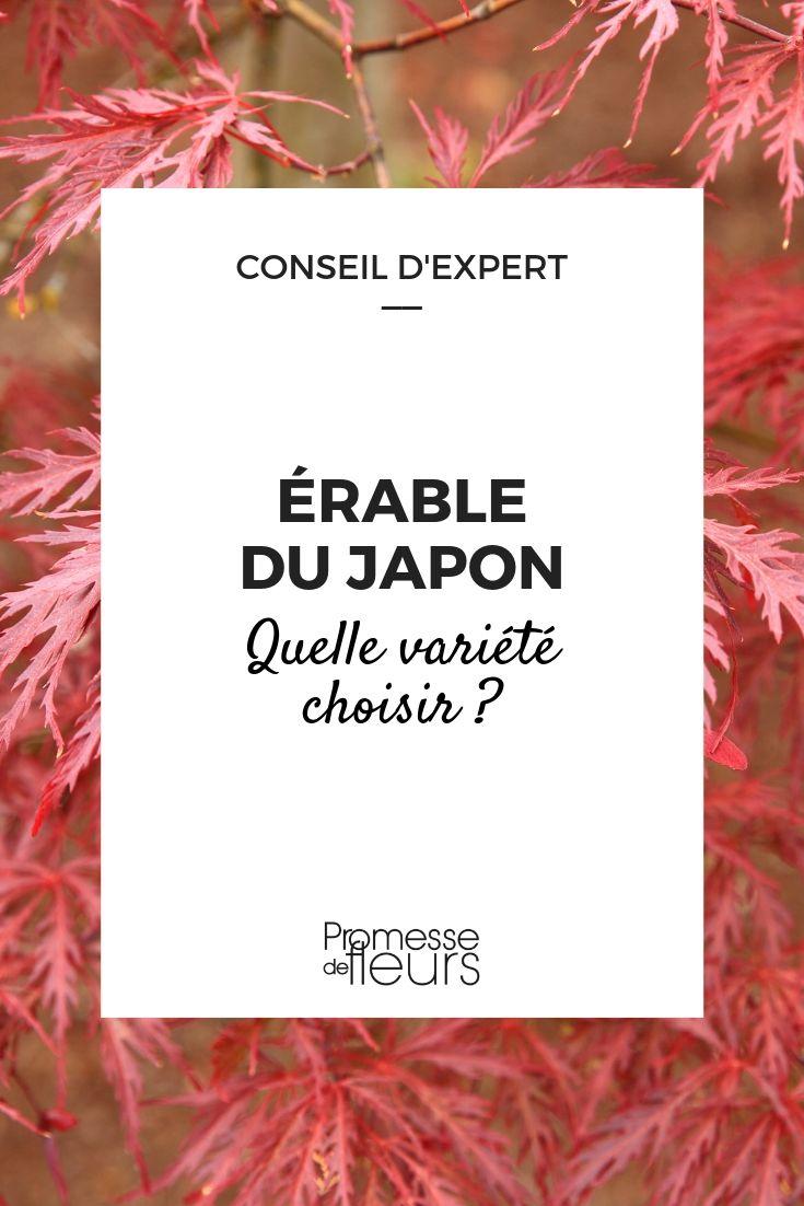 Erable du japon : guide pour bien le choisir