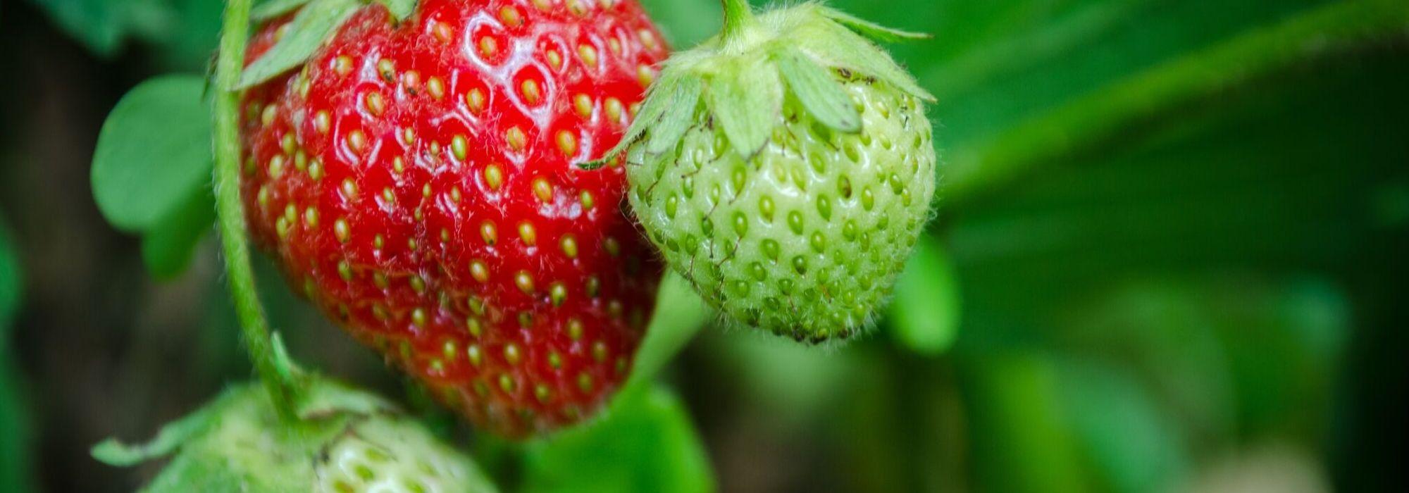 Comment Entretenir Les Fraisiers En Automne fraisier : planter, cultiver, entretenir au jardin - nos