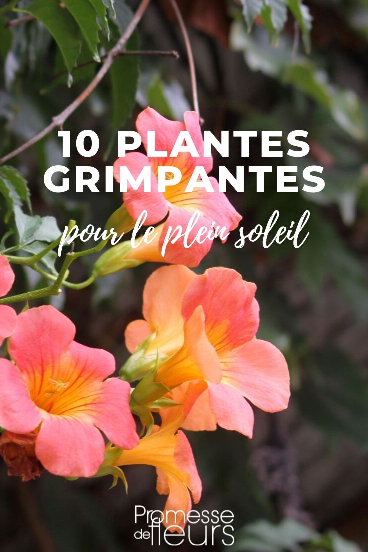 plantes grimpantes pour le soleil