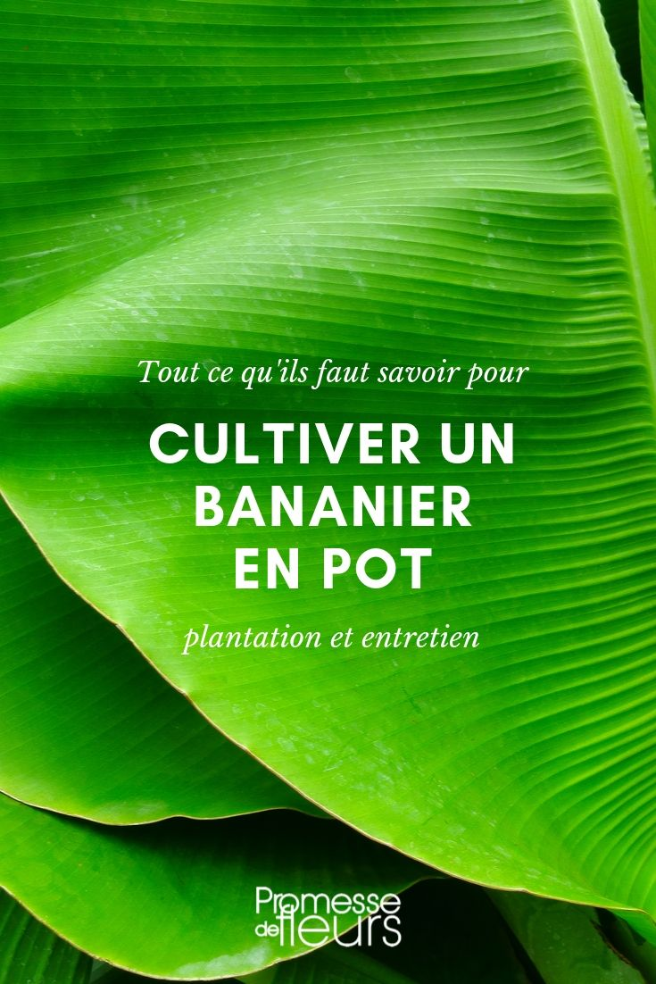 bananier en pot : conseils de culture