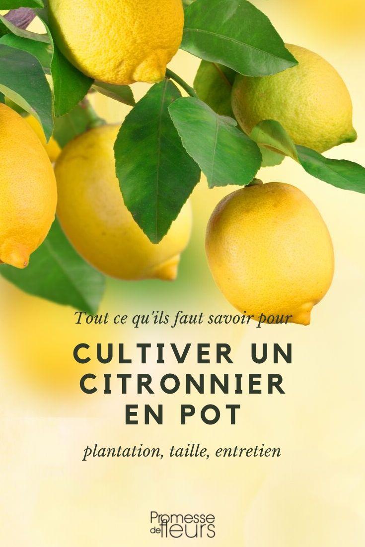 Citronnier en pot : culture, entretien