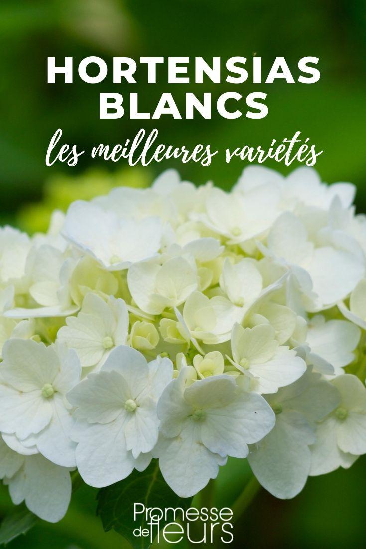 hortensia blanc : les meilleurs