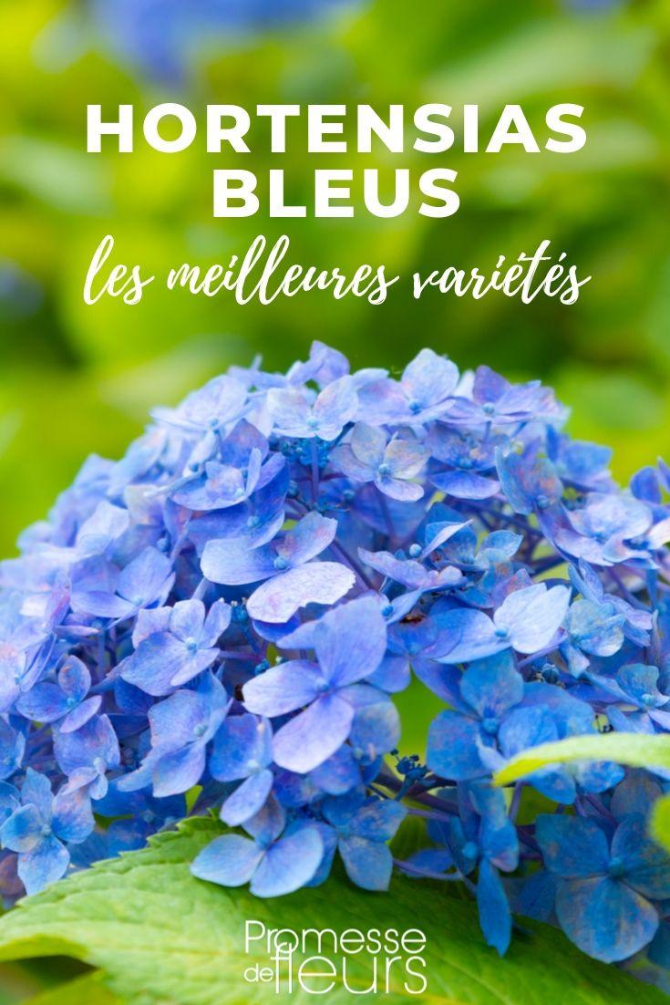Hortensia à fleurs bleues : les meilleurs