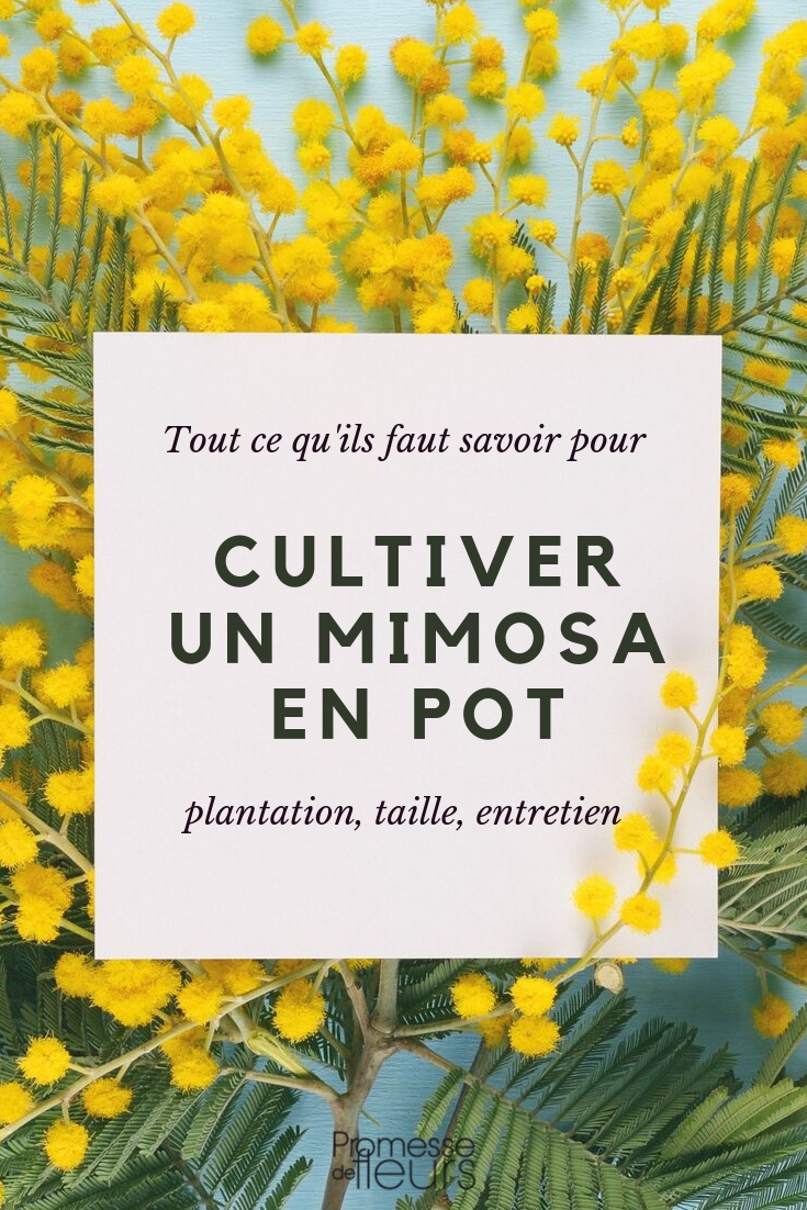 Mimosa en pot : conseils de culture
