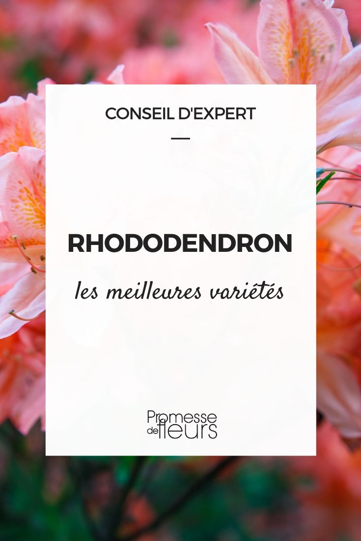 Les meilleurs rhododendrons