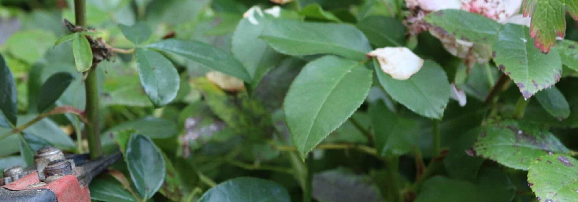 Quand Et Comment Tailler Un Rosier la taille des rosiers : comment faire ? explications et conseils