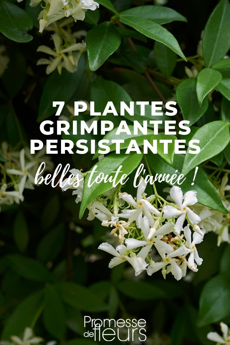 plante grimpante persistante