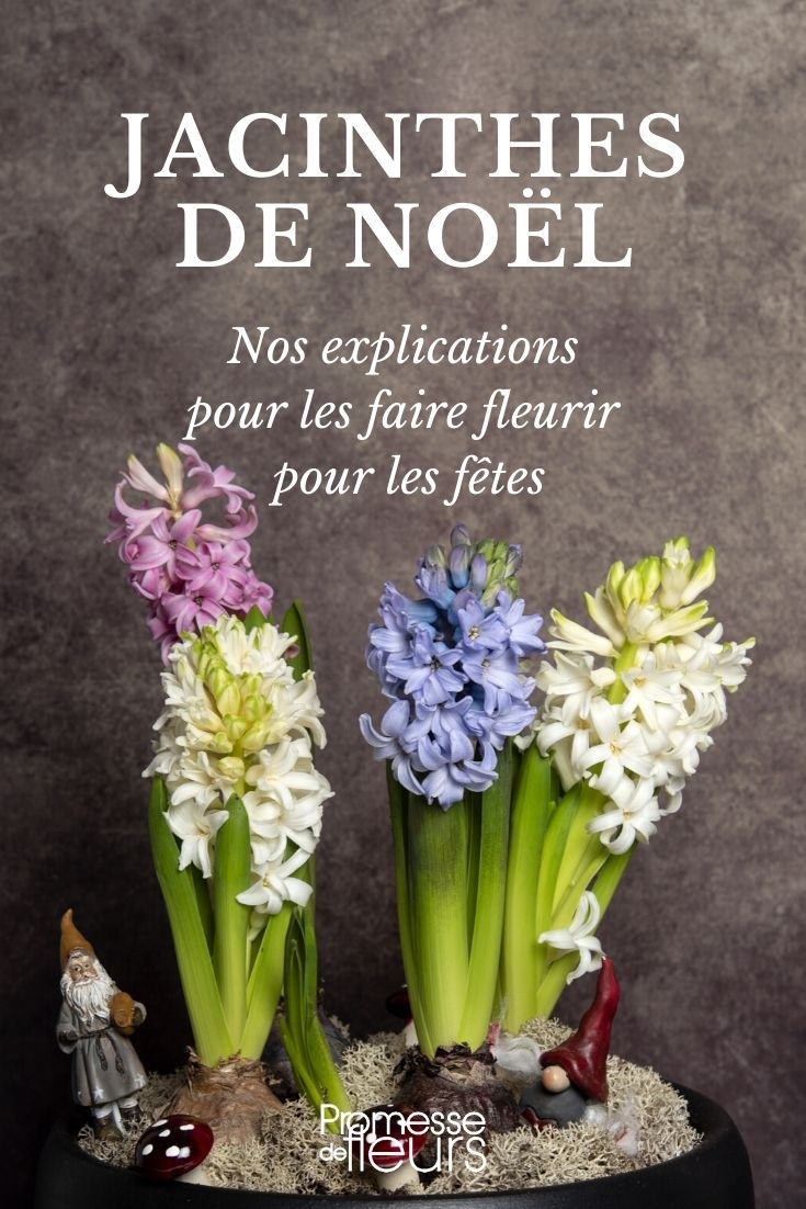 jacinthe de noel : forçage et entretien