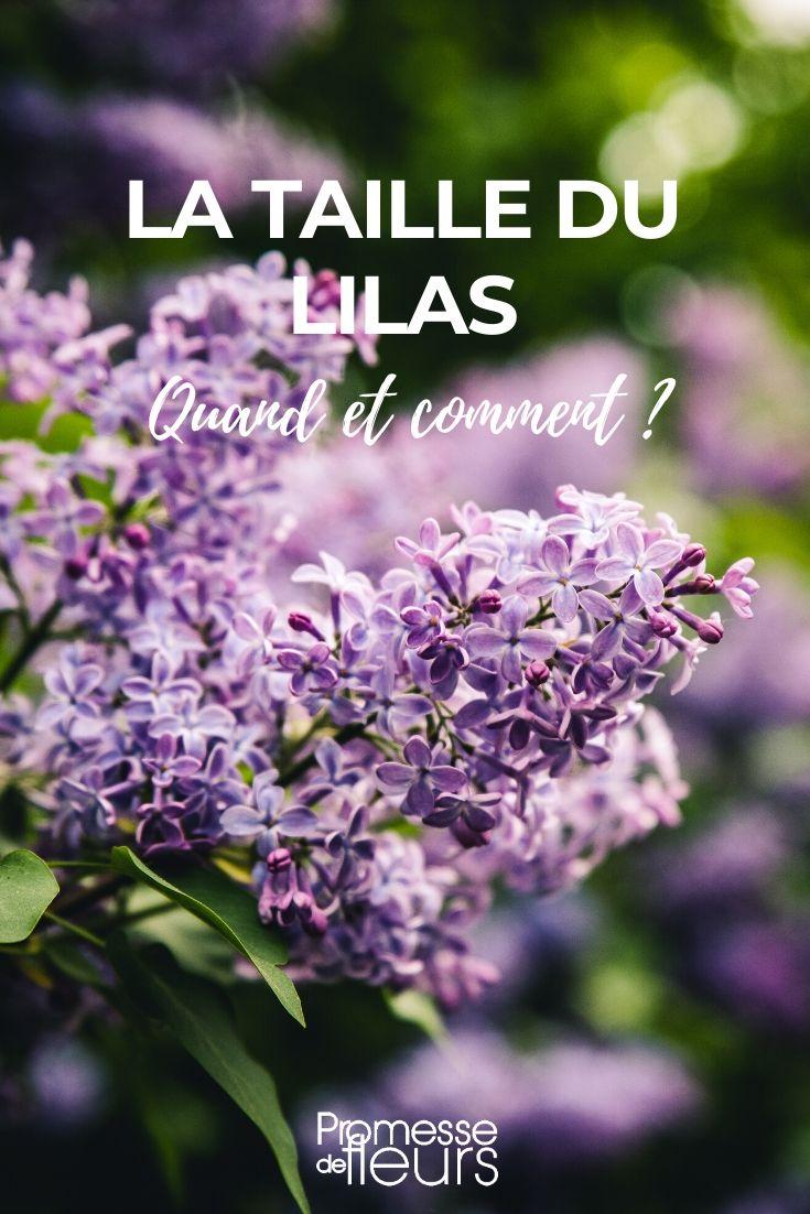 Quand Et Comment Tailler Une Passiflore la taille du lilas : quand et comment ? - promesse de fleurs
