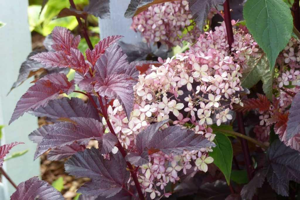 physocarpus : idées pour l'associer au jardin