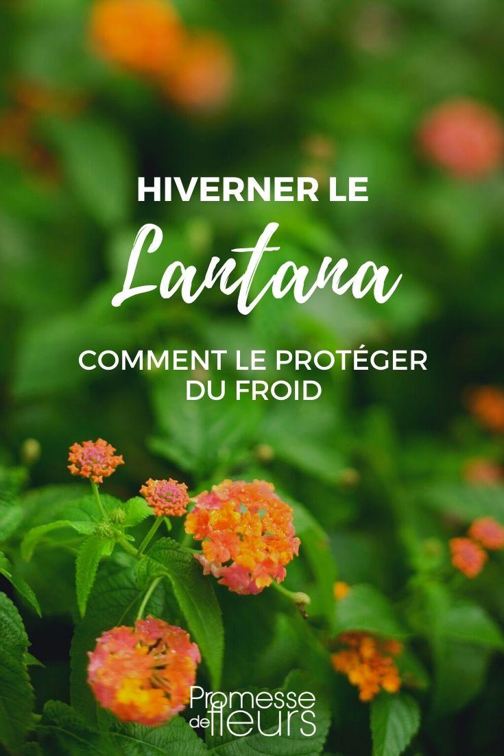 lantana : le protéger du froid en hiver