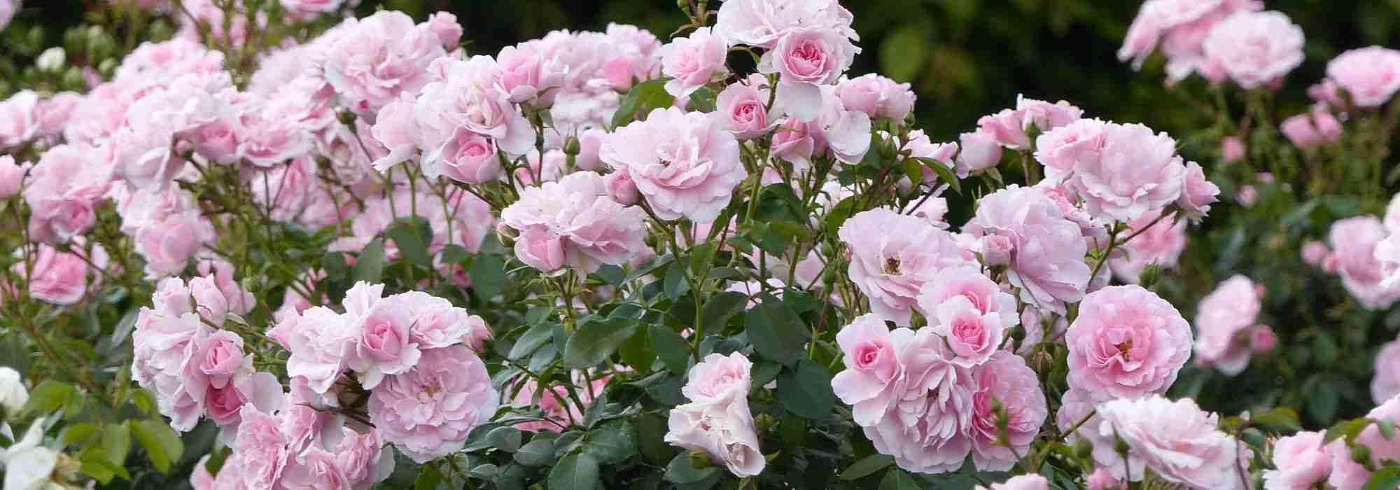 Quand Et Comment Tailler Un Rosier quand et comment tailler les rosiers buissons et arbustes