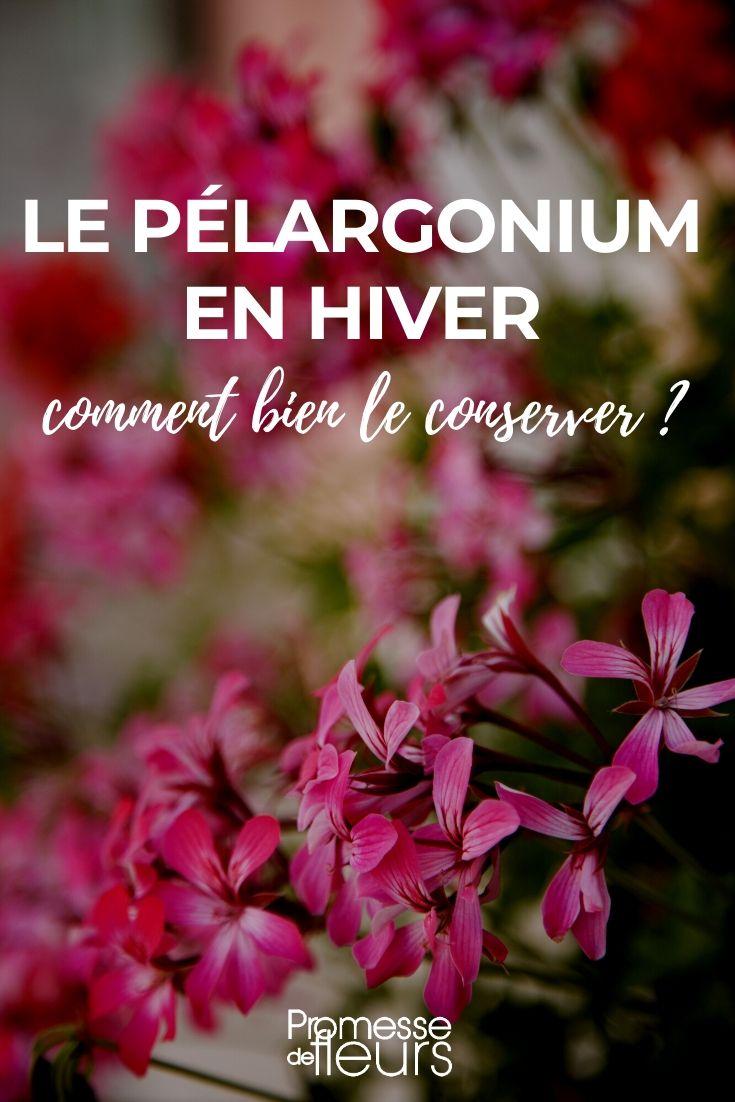 entretien pelargonium ou geranium