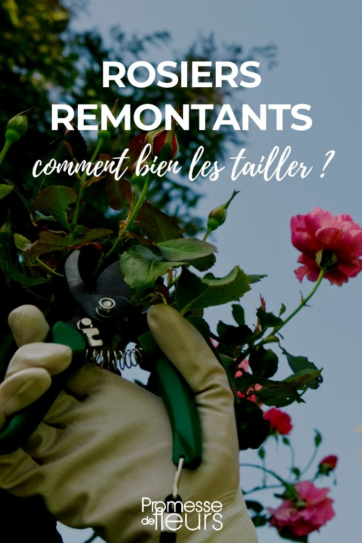 taille des rosiers remontants
