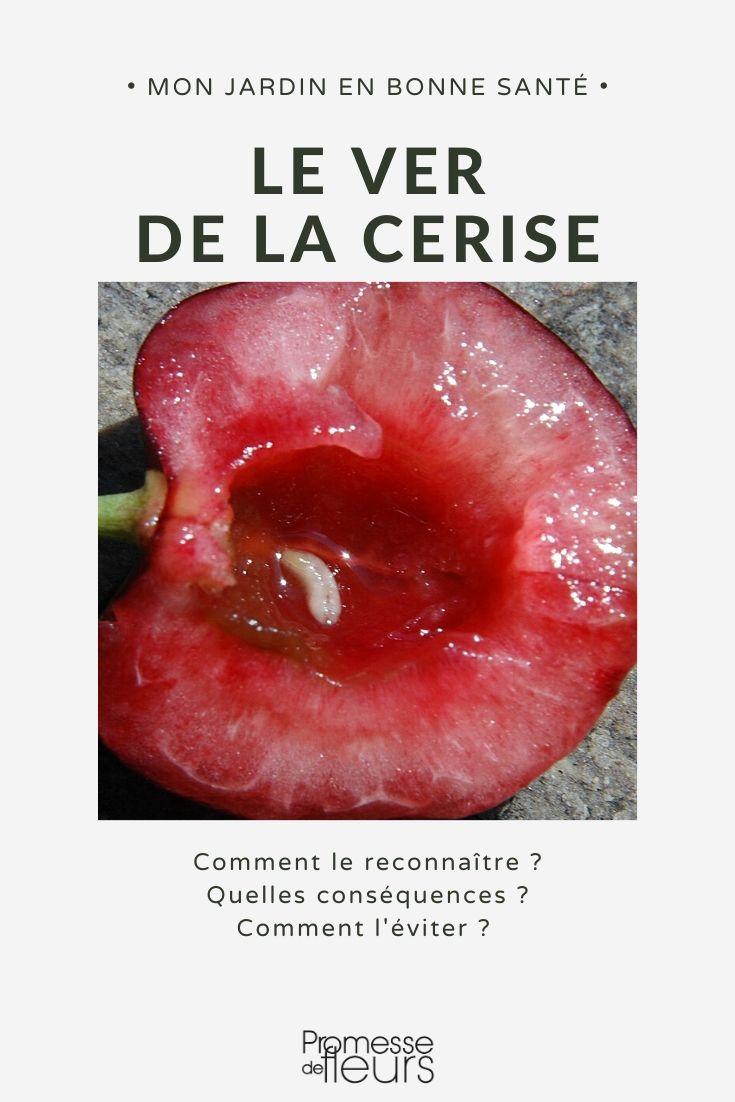 Vers de la cerise : prévention, traitement