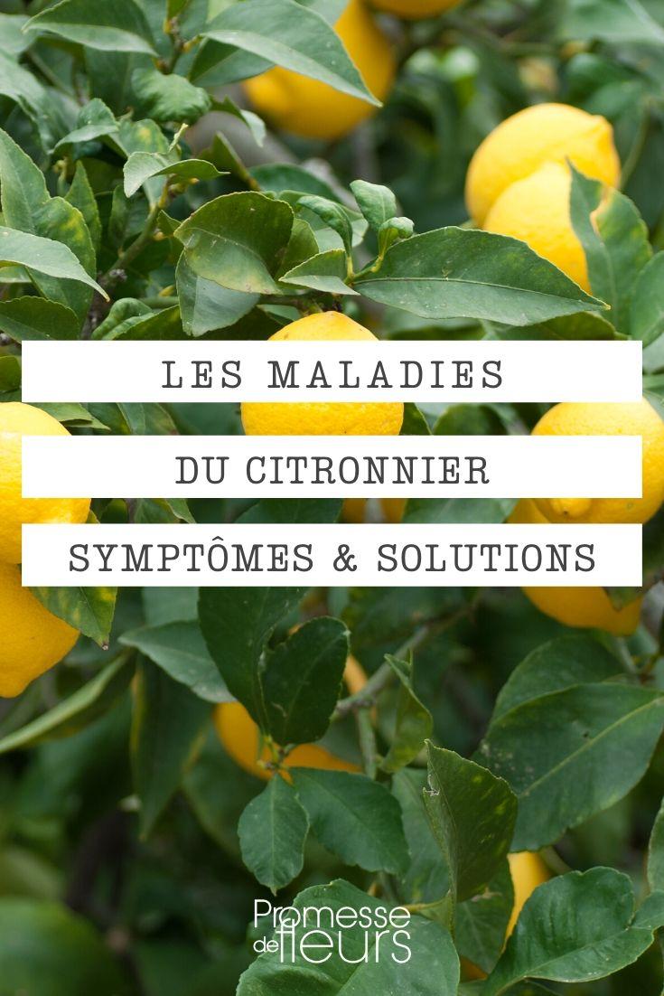Les maladies du citronnier