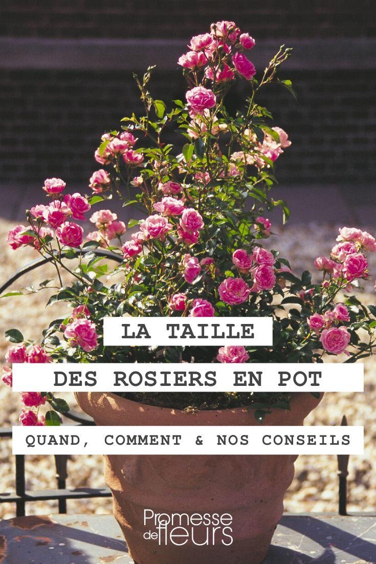 Quand et comment tailler un rosier en pot