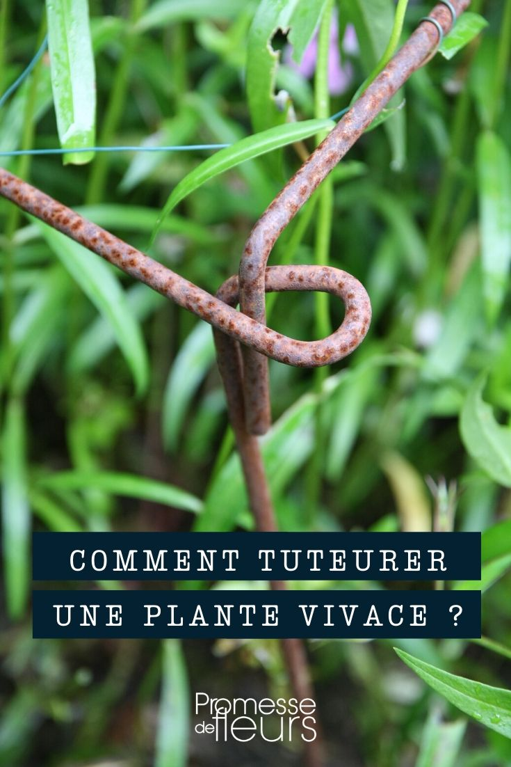 tuteurage plante vivace