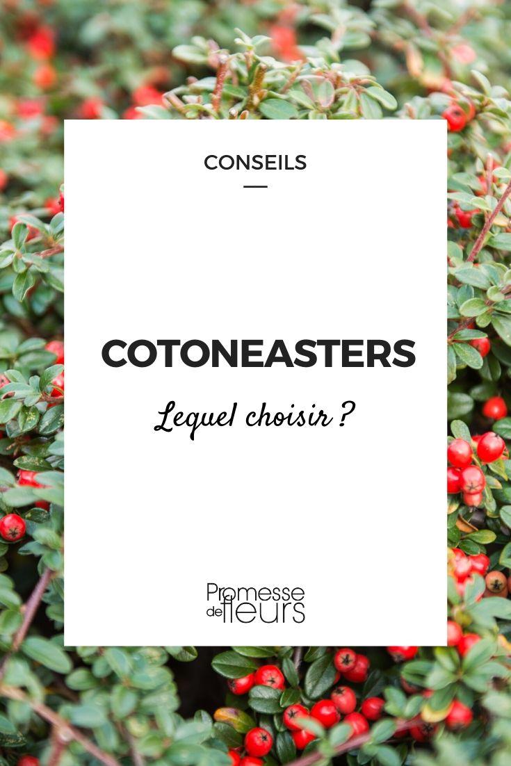 Cotoneaster : lequel choisir ?