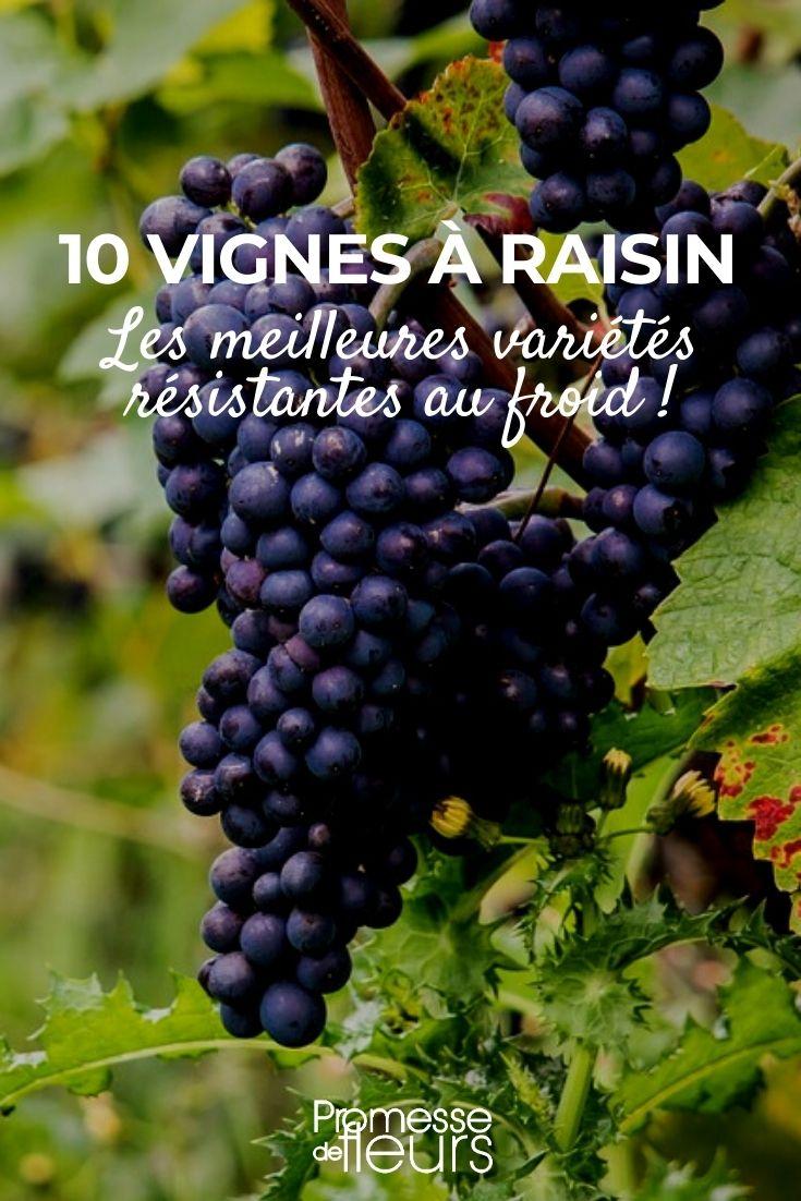 Vigne rustique