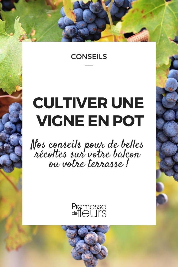 Comment cultiver une vigne en pot : nos conseils
